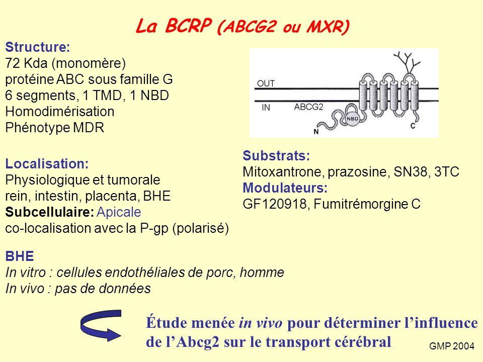 GMP 2004 La BCRP (ABCG2 ou MXR) Structure: 72 Kda (monomère) protéine ABC sous famille G 6 segments, 1 TMD, 1 NBD Homodimérisation Phénotype MDR Local