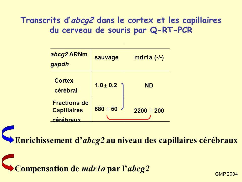 GMP 2004 Transcrits d'abcg2 dans le cortex et les capillaires du cerveau de souris par Q-RT-PCR abcg2 ARNm gapdh sauvage mdr1a (-/-) Cortex cérébral 1