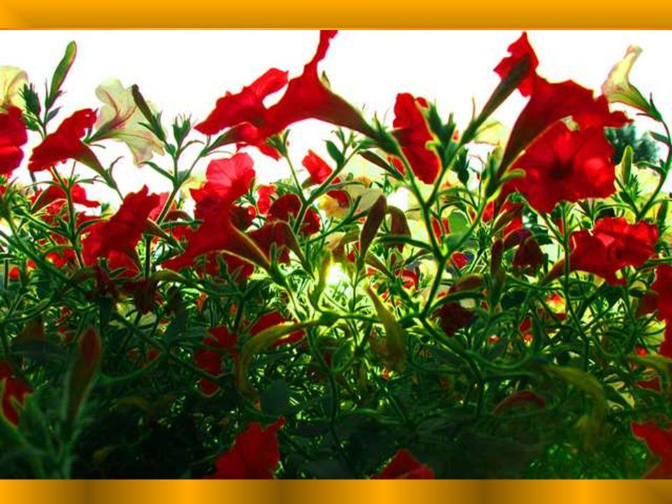 Tu fais la joie des fleurs, En leur offrant tes pleurs.