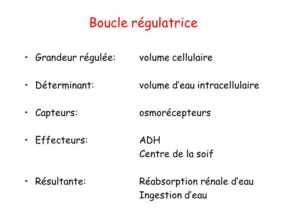 Boucle régulatrice Grandeur régulée: volume cellulaire Déterminant: volume d'eau intracellulaire Capteurs: osmorécepteurs Effecteurs: ADH Centre de la