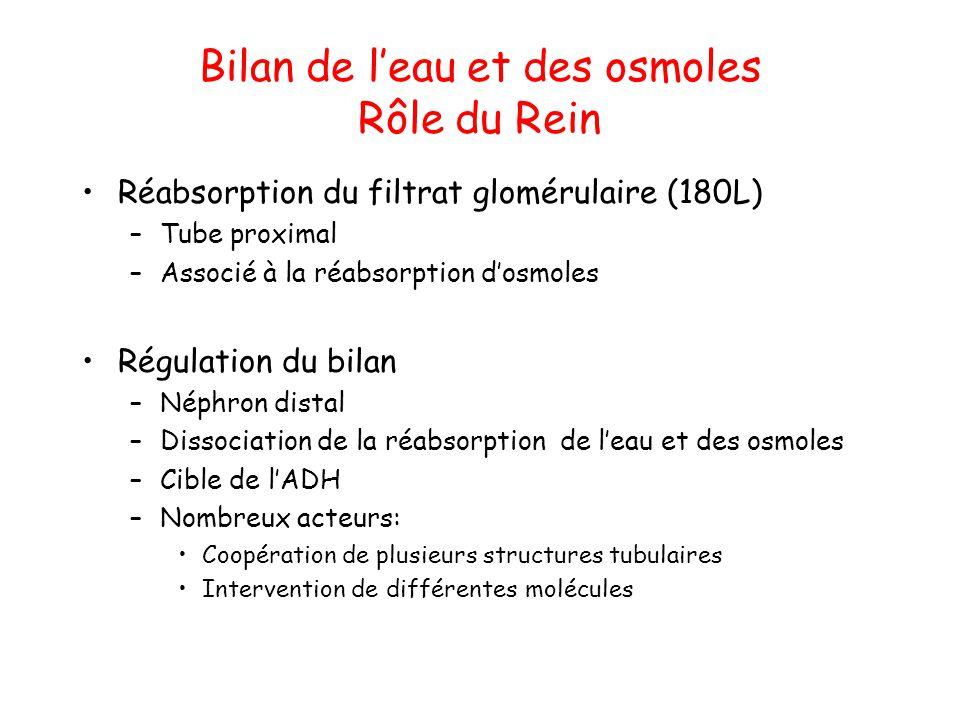 Bilan de l'eau et des osmoles Rôle du Rein Réabsorption du filtrat glomérulaire (180L) –Tube proximal –Associé à la réabsorption d'osmoles Régulation
