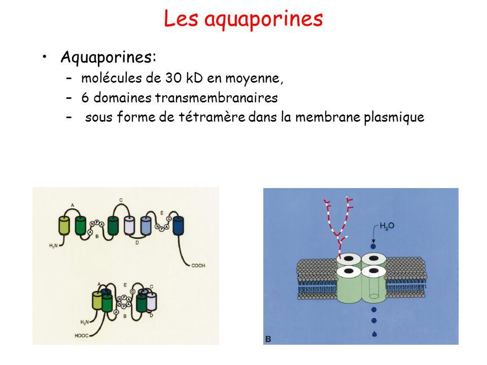 Les aquaporines Aquaporines: –molécules de 30 kD en moyenne, –6 domaines transmembranaires – sous forme de tétramère dans la membrane plasmique