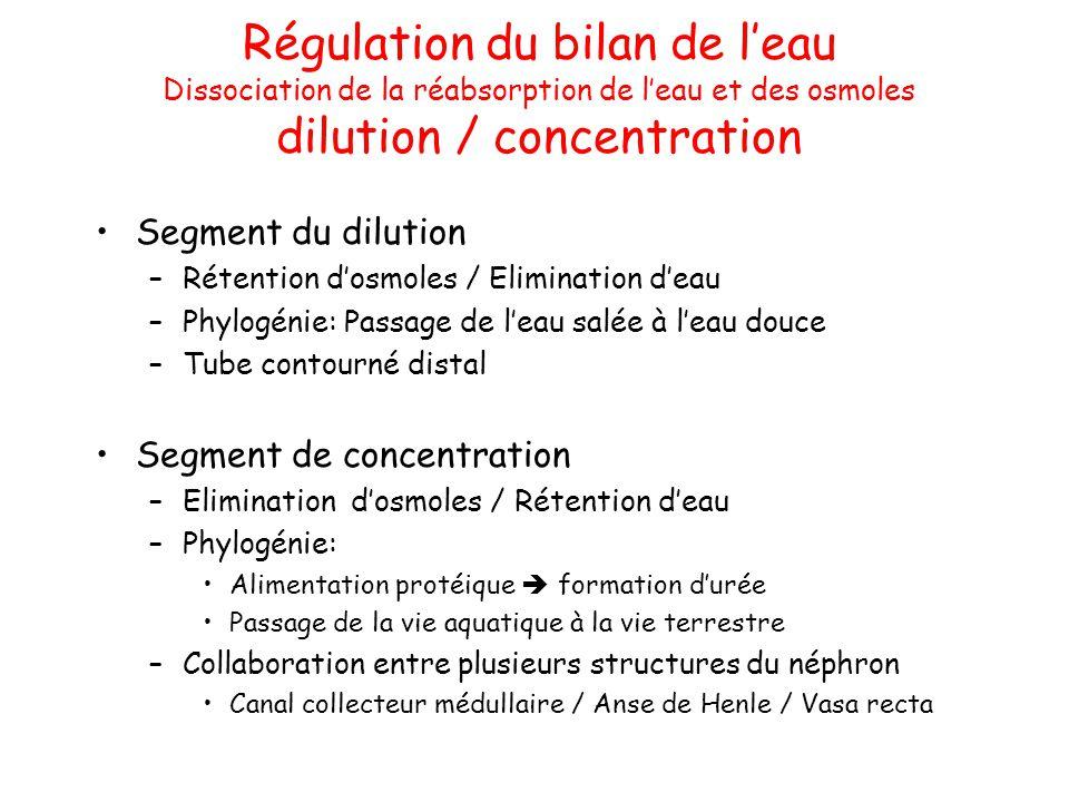 Régulation du bilan de l'eau Dissociation de la réabsorption de l'eau et des osmoles dilution / concentration Segment du dilution –Rétention d'osmoles