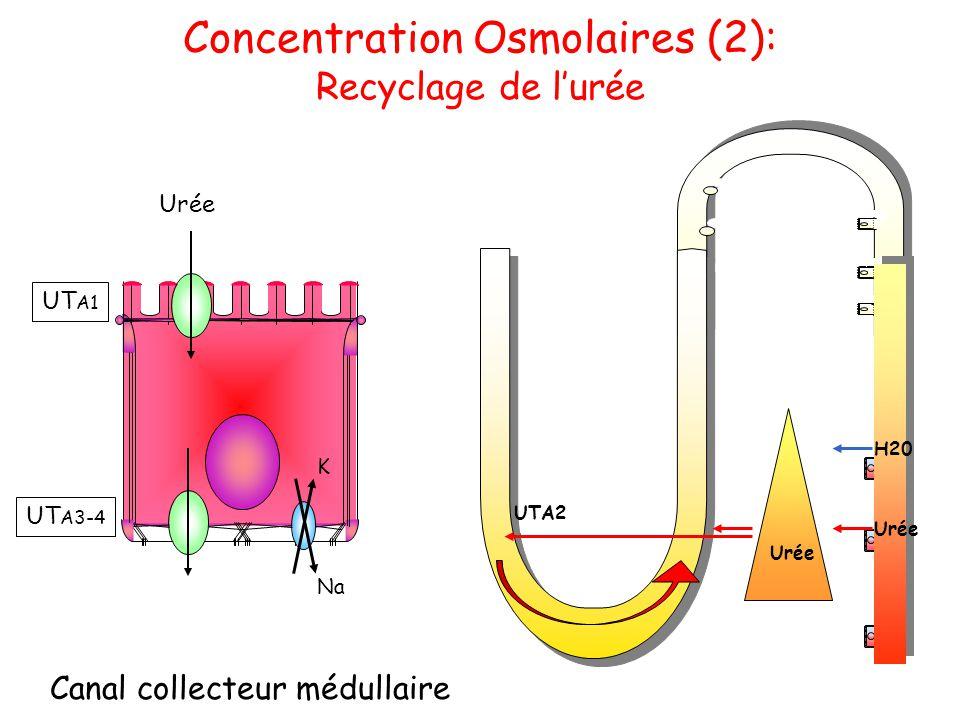Concentration Osmolaires (2): Recyclage de l'urée Canal collecteur médullaire Na K UT A1 Urée UT A3-4 Urée H20 Urée UTA2
