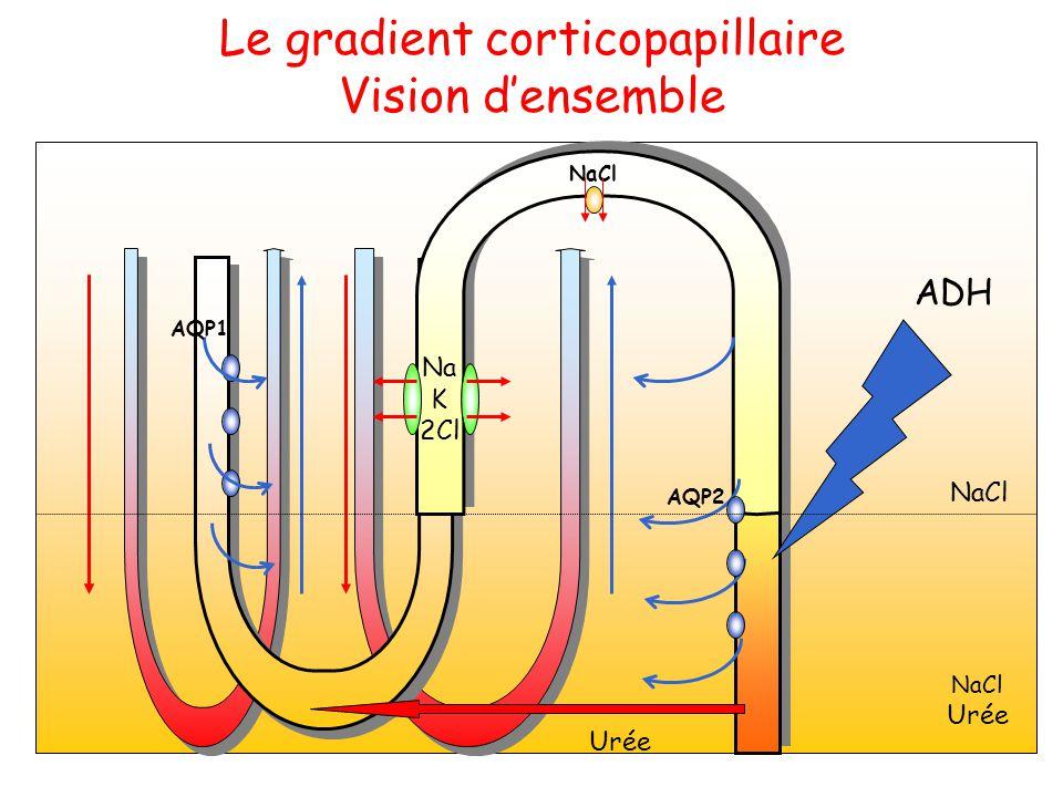 Le gradient corticopapillaire Vision d'ensemble Na K 2Cl AQP2 Urée AQP1 ADH NaCl Urée NaCl