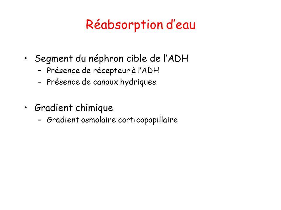 Réabsorption d'eau Segment du néphron cible de l'ADH –Présence de récepteur à l'ADH –Présence de canaux hydriques Gradient chimique –Gradient osmolair