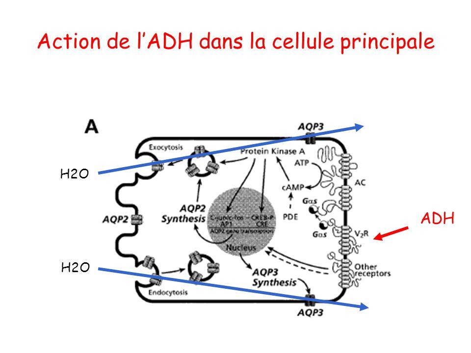 Action de l'ADH dans la cellule principale ADH H2O