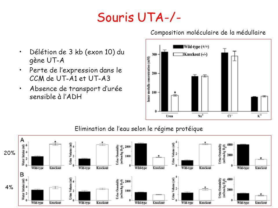 Souris UTA-/- Délétion de 3 kb (exon 10) du gène UT-A Perte de l'expression dans le CCM de UT-A1 et UT-A3 Absence de transport d'urée sensible à l'ADH