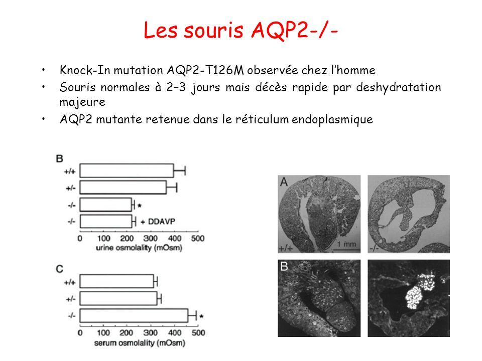 Les souris AQP2-/- Knock-In mutation AQP2-T126M observée chez l'homme Souris normales à 2–3 jours mais décès rapide par deshydratation majeure AQP2 mu