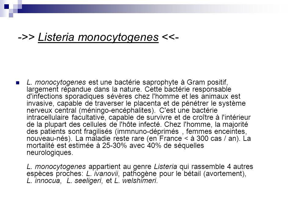 ->> Listeria monocytogenes <<- L.