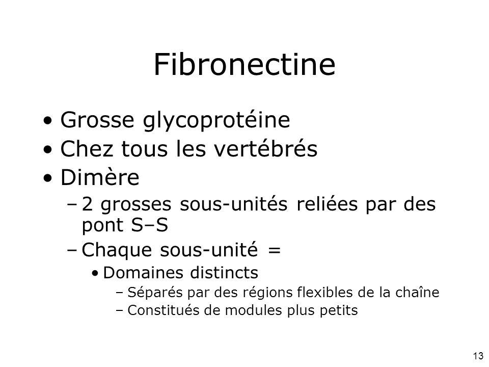 13 Fibronectine Grosse glycoprotéine Chez tous les vertébrés Dimère –2 grosses sous-unités reliées par des pont S–S –Chaque sous-unité = Domaines dist