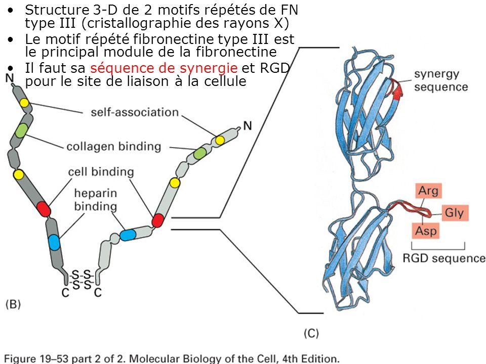 23 Fig 19-53(BC) Structure 3-D de 2 motifs répétés de FN type III (cristallographie des rayons X) Le motif répété fibronectine type III est le princip