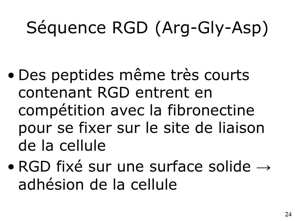 24 Séquence RGD (Arg-Gly-Asp) Des peptides même très courts contenant RGD entrent en compétition avec la fibronectine pour se fixer sur le site de lia