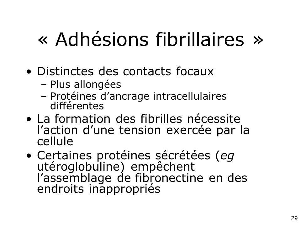 29 « Adhésions fibrillaires » Distinctes des contacts focaux –Plus allongées –Protéines d'ancrage intracellulaires différentes La formation des fibril