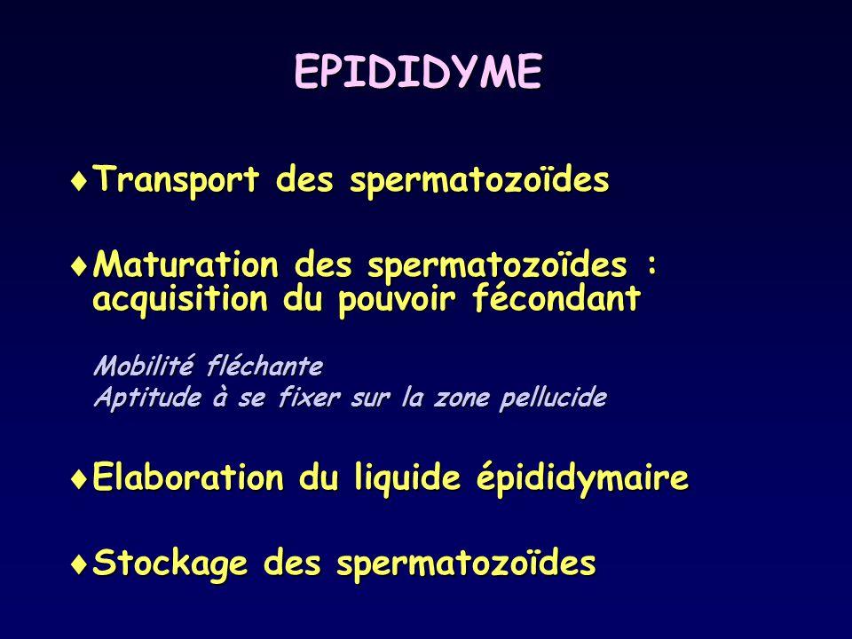 Liquide épididymaire  Eau  Ions  Protéines testiculaires (ABP, Transferrine)  Protéines épididymaires  Enzymes (Glycossidase)  Acide sialique  Inositol  Carnitine  Stéroïdes (Testostérone, DHT)