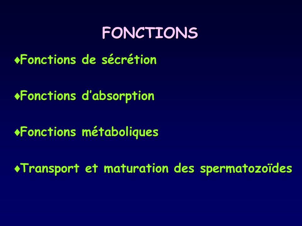 FONCTIONS  Fonctions de sécrétion  Fonctions d'absorption  Fonctions métaboliques  Transport et maturation des spermatozoïdes