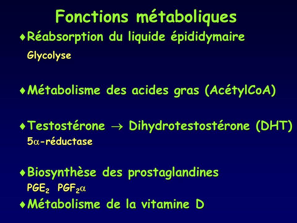 Fonctions métaboliques  Réabsorption du liquide épididymaire Glycolyse  Métabolisme des acides gras (AcétylCoA)  Testostérone  Dihydrotestostérone