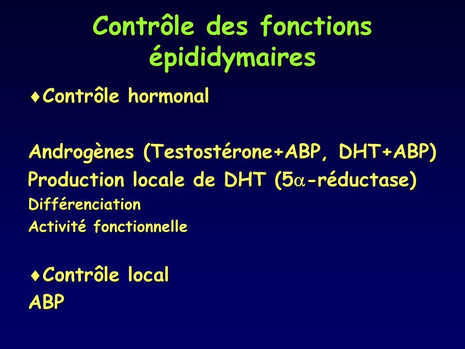 Contrôle des fonctions épididymaires  Contrôle hormonal Androgènes (Testostérone+ABP, DHT+ABP) Production locale de DHT (5  -réductase) Différenciat