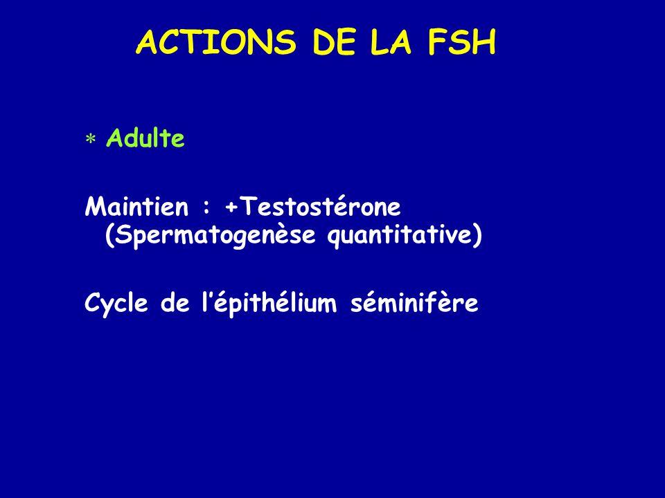 ACTIONS DE LA FSH  Adulte Maintien : +Testostérone (Spermatogenèse quantitative) Cycle de l'épithélium séminifère