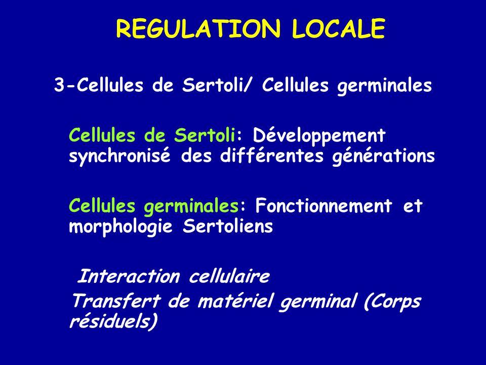 REGULATION LOCALE 3-Cellules de Sertoli/ Cellules germinales Cellules de Sertoli: Développement synchronisé des différentes générations Cellules germinales: Fonctionnement et morphologie Sertoliens Interaction cellulaire Transfert de matériel germinal (Corps résiduels)