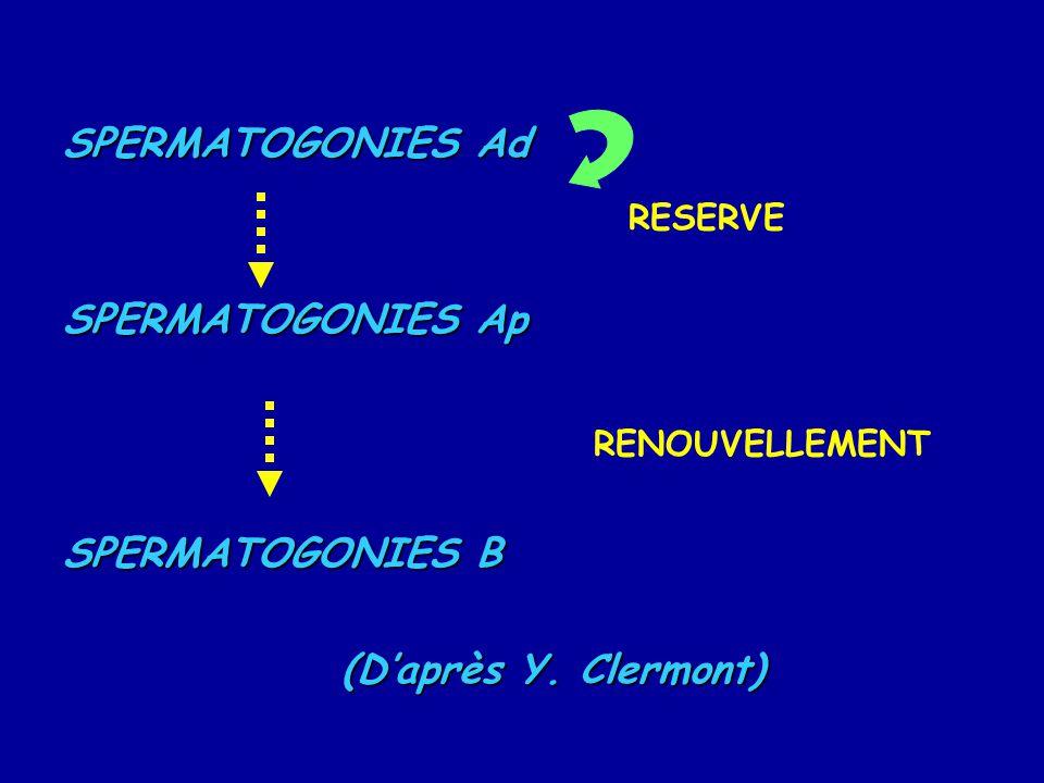 SPERMATOGONIES Ad SPERMATOGONIES Ap SPERMATOGONIES B (D'après Y. Clermont) RESERVE RENOUVELLEMENT