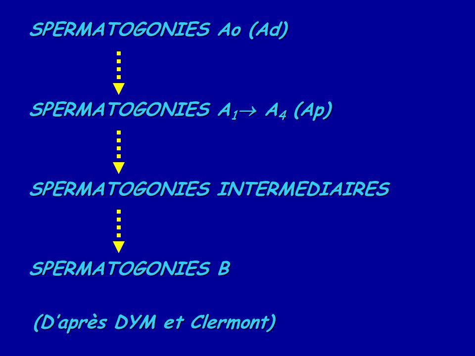 SPERMATOGONIES Ao (Ad) SPERMATOGONIES A 1  A 4 (Ap) SPERMATOGONIES INTERMEDIAIRES SPERMATOGONIES B (D'après DYM et Clermont)