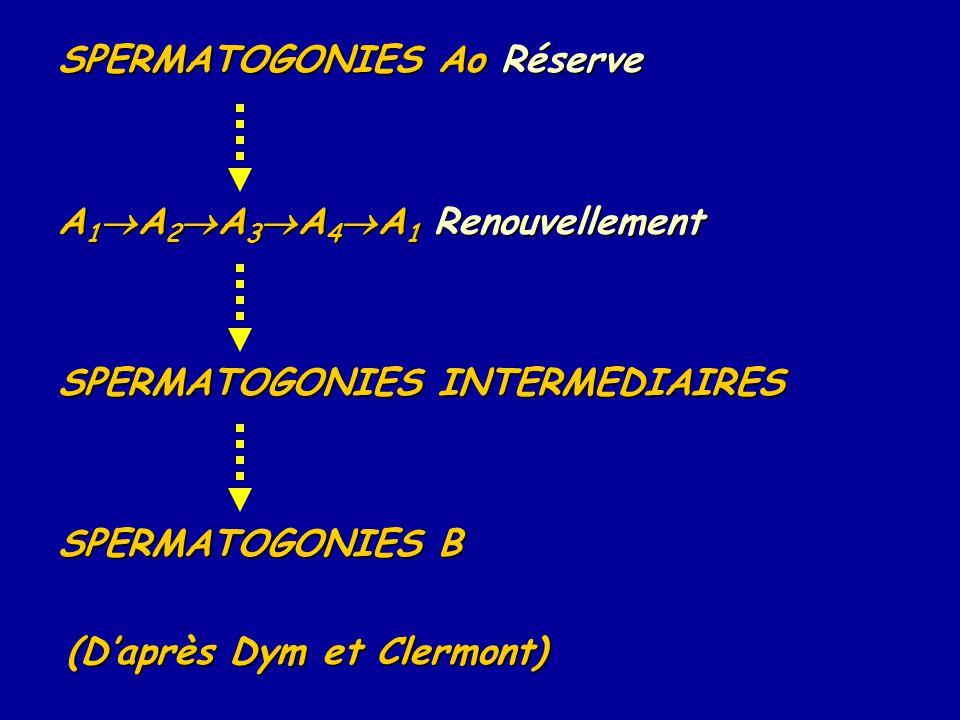 SPERMATOGONIES Ao Réserve A 1  A 2  A 3  A 4  A 1 Renouvellement SPERMATOGONIES INTERMEDIAIRES SPERMATOGONIES B (D'après Dym et Clermont)