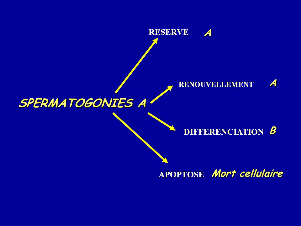 SPERMATOGONIES A A RESERVEB DIFFERENCIATION A RENOUVELLEMENT Mort cellulaire APOPTOSE