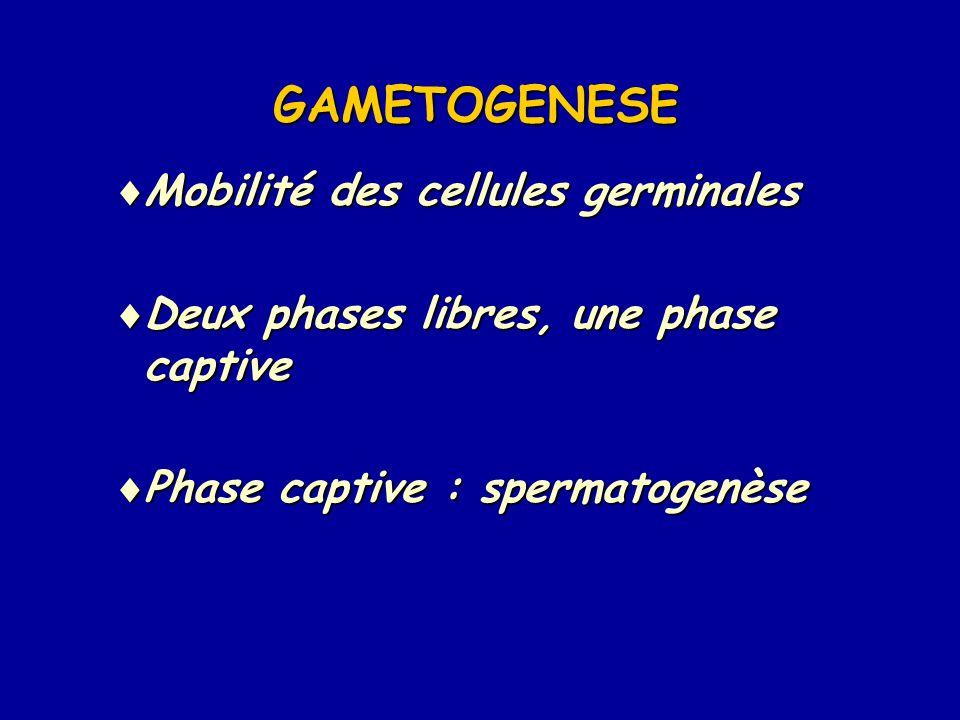 GAMETOGENESE  Mobilité des cellules germinales  Deux phases libres, une phase captive  Phase captive : spermatogenèse
