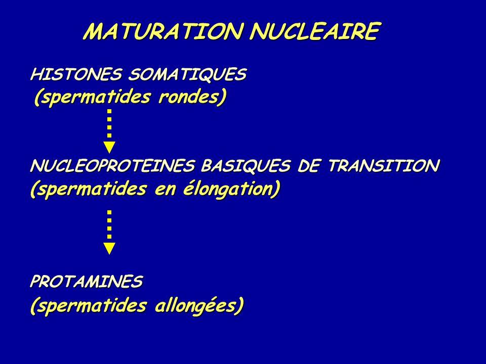 HISTONES SOMATIQUES (spermatides rondes) NUCLEOPROTEINES BASIQUES DE TRANSITION (spermatides en élongation) PROTAMINES (spermatides allongées) MATURATION NUCLEAIRE