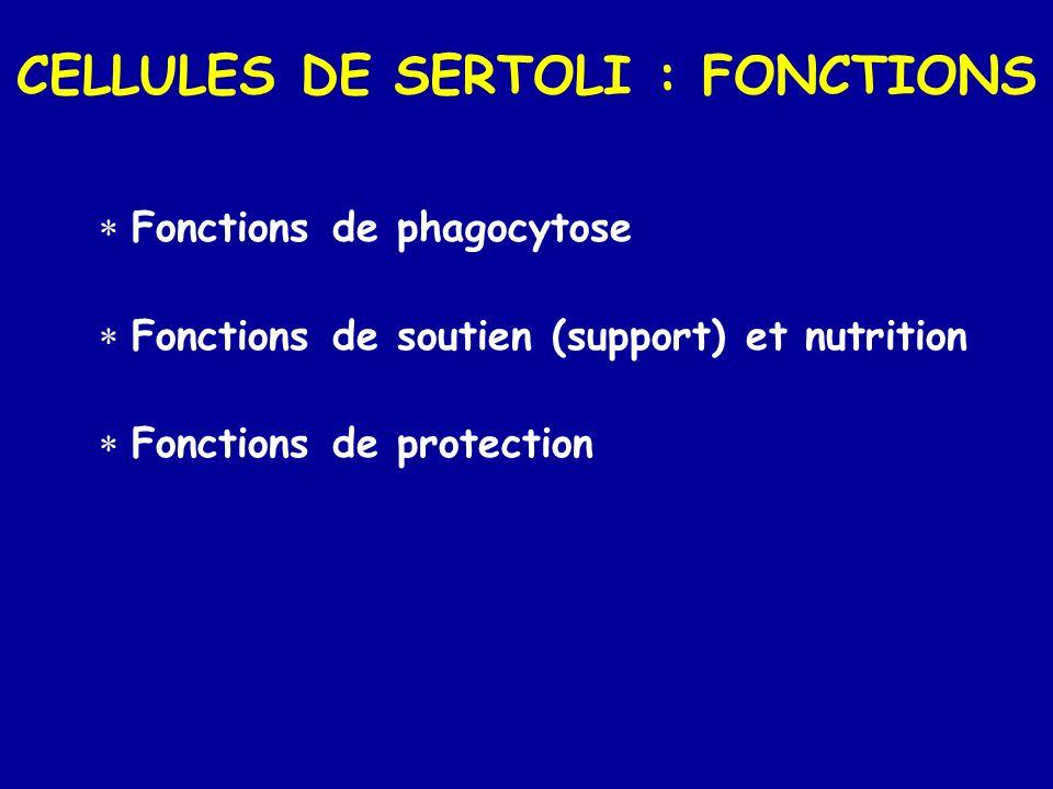 CELLULES DE SERTOLI : FONCTIONS  Fonctions de phagocytose  Fonctions de soutien (support) et nutrition  Fonctions de protection