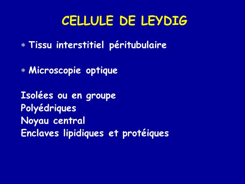 CELLULE DE LEYDIG  Tissu interstitiel péritubulaire  Microscopie optique Isolées ou en groupe Polyédriques Noyau central Enclaves lipidiques et protéiques