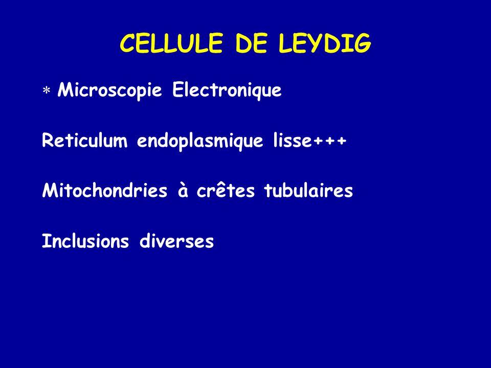 CELLULE DE LEYDIG  Microscopie Electronique Reticulum endoplasmique lisse+++ Mitochondries à crêtes tubulaires Inclusions diverses