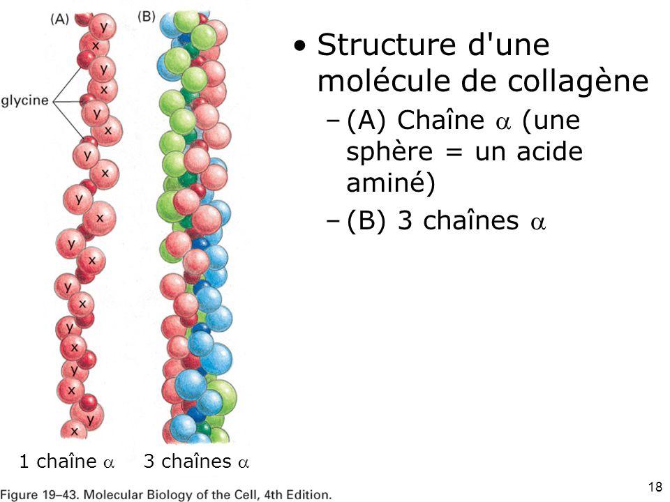 18 Fig 19-43 1 chaîne 3 chaînes  Structure d'une molécule de collagène –(A) Chaîne  (une sphère = un acide aminé) –(B) 3 chaînes 
