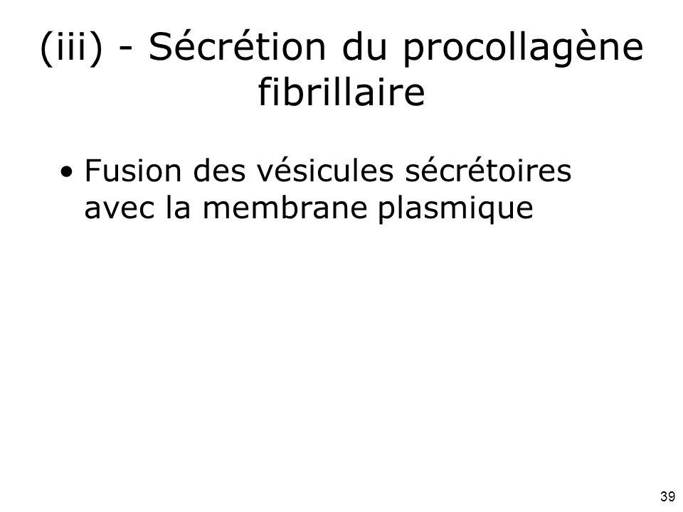 39 (iii) - Sécrétion du procollagène fibrillaire Fusion des vésicules sécrétoires avec la membrane plasmique