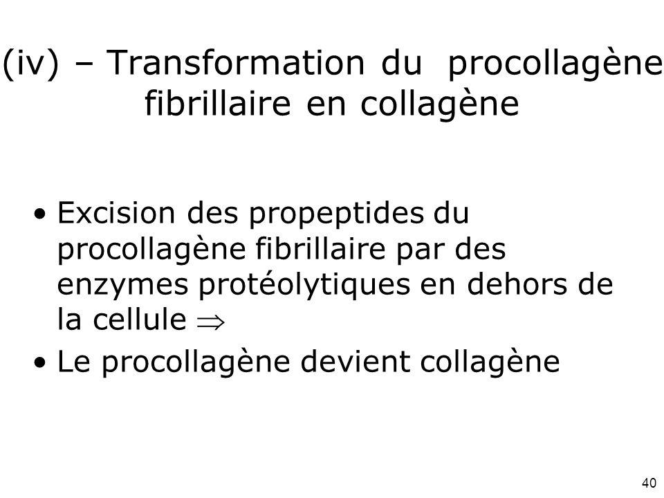 40 (iv) – Transformation du procollagène fibrillaire en collagène Excision des propeptides du procollagène fibrillaire par des enzymes protéolytiques en dehors de la cellule  Le procollagène devient collagène