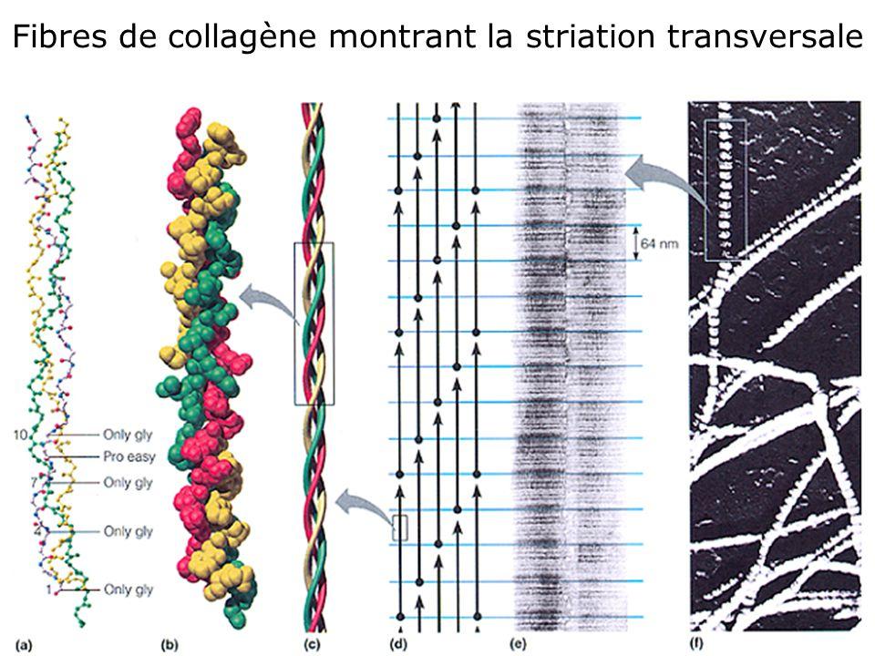 45 Fibres de collagène montrant la striation transversale