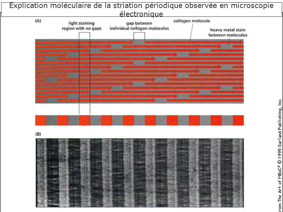 46 Explication moléculaire de la striation périodique observée en microscopie électronique