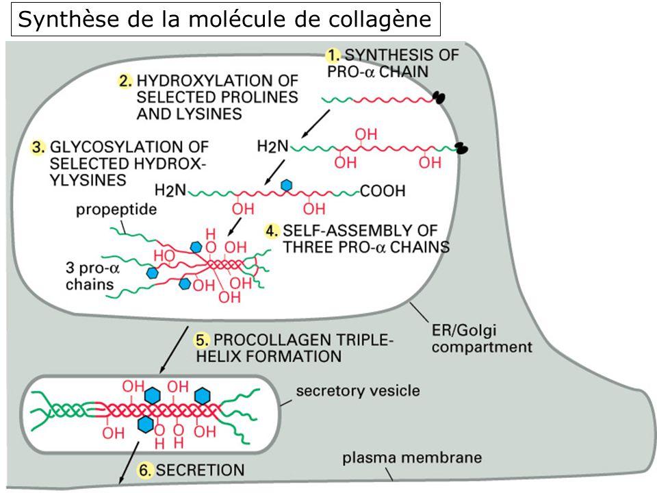 54 Fig 19-47 Synthèse de la molécule de collagène