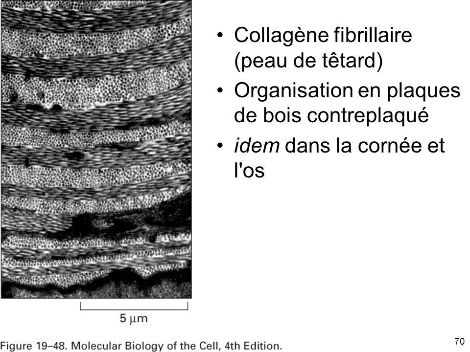 70 Fig 19-48 Collagène fibrillaire (peau de têtard) Organisation en plaques de bois contreplaqué idem dans la cornée et l os