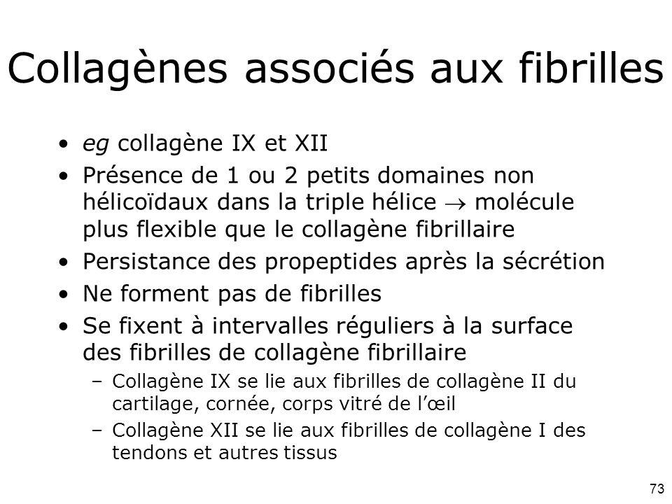 73 Collagènes associés aux fibrilles eg collagène IX et XII Présence de 1 ou 2 petits domaines non hélicoïdaux dans la triple hélice  molécule plus flexible que le collagène fibrillaire Persistance des propeptides après la sécrétion Ne forment pas de fibrilles Se fixent à intervalles réguliers à la surface des fibrilles de collagène fibrillaire –Collagène IX se lie aux fibrilles de collagène II du cartilage, cornée, corps vitré de l'œil –Collagène XII se lie aux fibrilles de collagène I des tendons et autres tissus