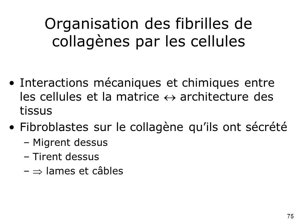 75 Organisation des fibrilles de collagènes par les cellules Interactions mécaniques et chimiques entre les cellules et la matrice  architecture des tissus Fibroblastes sur le collagène qu'ils ont sécrété –Migrent dessus –Tirent dessus – lames et câbles