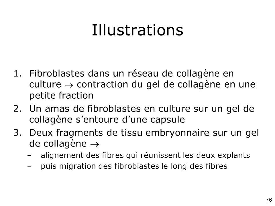 76 Illustrations 1.Fibroblastes dans un réseau de collagène en culture  contraction du gel de collagène en une petite fraction 2.Un amas de fibroblastes en culture sur un gel de collagène s'entoure d'une capsule 3.Deux fragments de tissu embryonnaire sur un gel de collagène  –alignement des fibres qui réunissent les deux explants –puis migration des fibroblastes le long des fibres