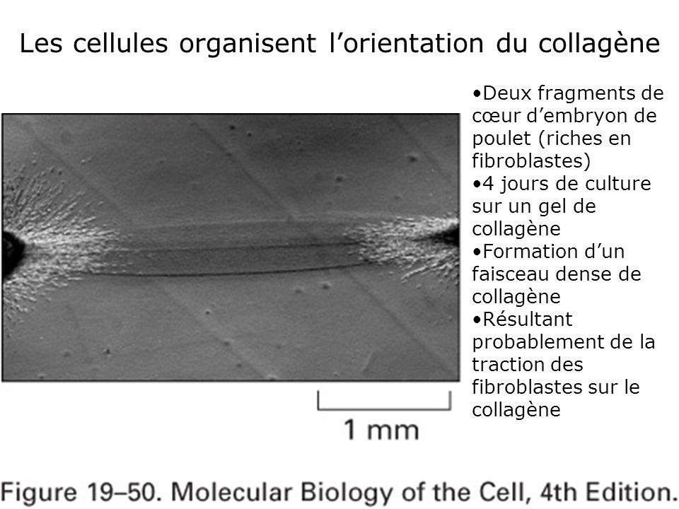 77 Fig 19-50 Les cellules organisent l'orientation du collagène Deux fragments de cœur d'embryon de poulet (riches en fibroblastes) 4 jours de culture sur un gel de collagène Formation d'un faisceau dense de collagène Résultant probablement de la traction des fibroblastes sur le collagène