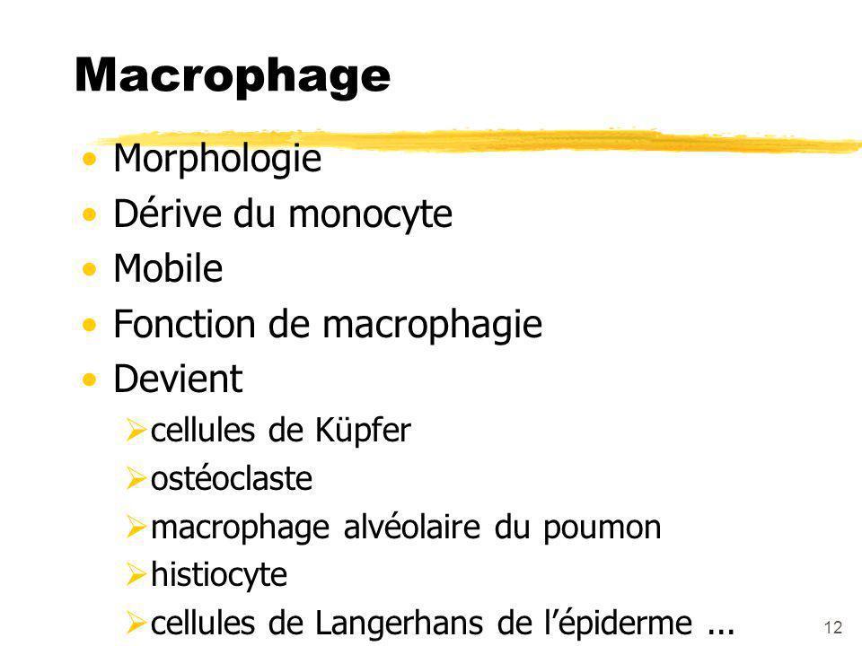 12 Macrophage Morphologie Dérive du monocyte Mobile Fonction de macrophagie Devient  cellules de Küpfer  ostéoclaste  macrophage alvéolaire du poumon  histiocyte  cellules de Langerhans de l'épiderme...