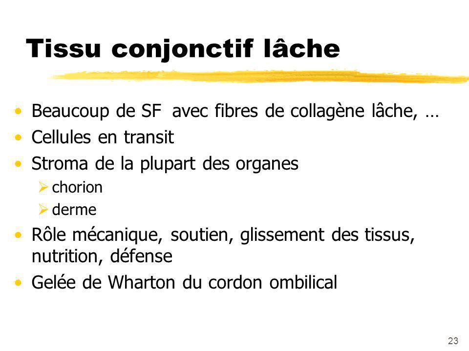 23 Tissu conjonctif lâche Beaucoup de SF avec fibres de collagène lâche, … Cellules en transit Stroma de la plupart des organes  chorion  derme Rôle