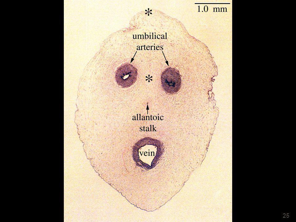 25 Cordon ombilical