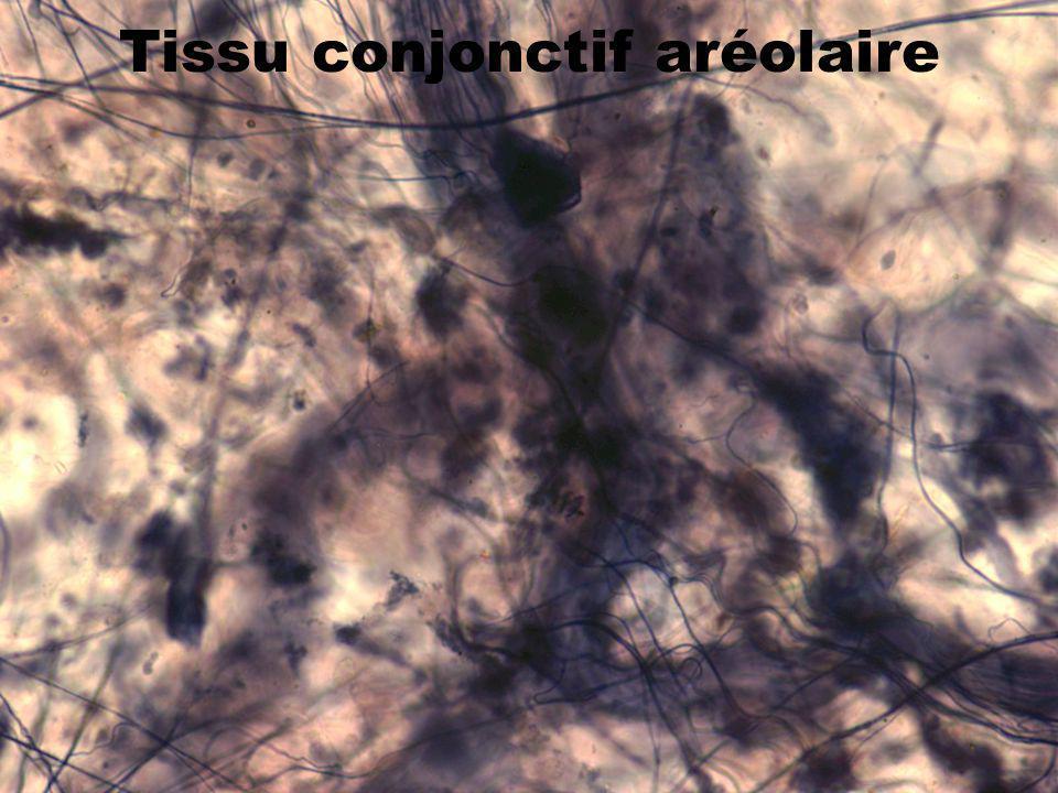 31 Tissu conjonctif aréolaire