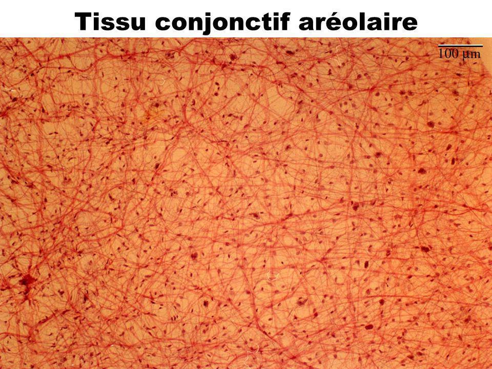 32 Tissu conjonctif aréolaire