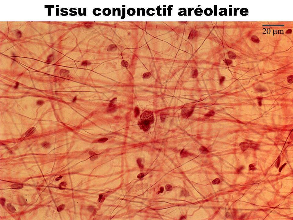 34 Tissu conjonctif aréolaire